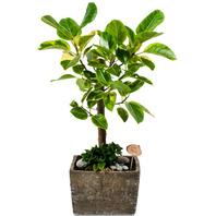 미니뱅갈고무나무