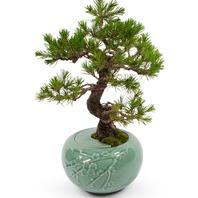 청자 소나무